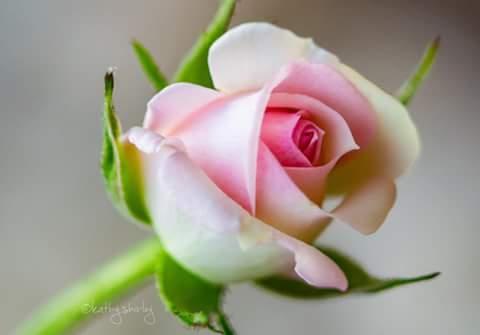 عکس گل ساده جدید برای پروفایل