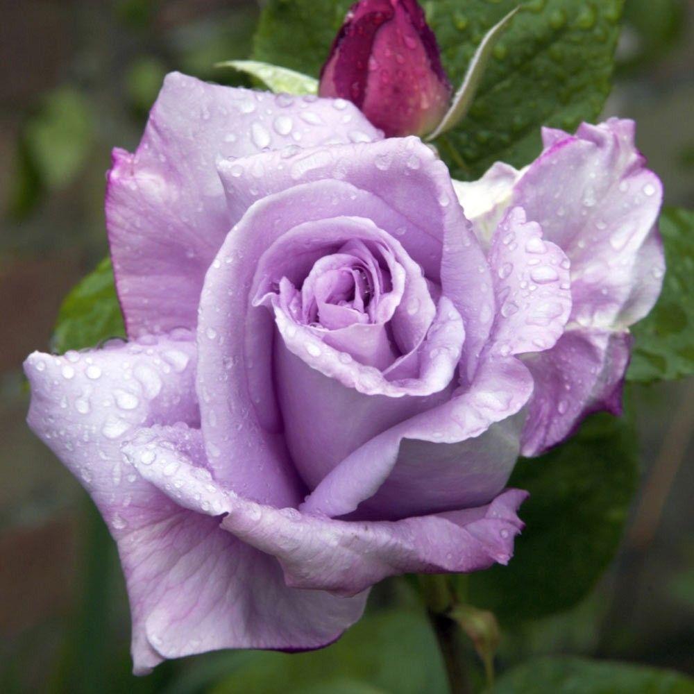 عکس زیباترین گل جهان برای پروفایل